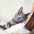 Russian Blue Cat — Stock Photo