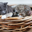 Two Cats in Basket - Stock Photo