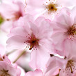 Pink Cherry Blossoms - Stockfoto