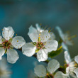 Cherry Blossoms — Stock fotografie