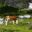 Cows on Alpine Pasture — Stok fotoğraf