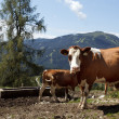 Cows on Alpine Pasture - Stock Photo