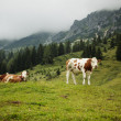Cows on Alpine Pasture — Lizenzfreies Foto
