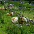 Cows on Alpine Pasture — Stock Photo