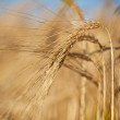 Wheat — Stock fotografie