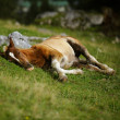 Foal on Alpine Pasture - Stock Photo