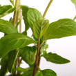 Close up shot of fresh mint herb - Stock Photo