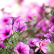 Petunia Flowers — Stock Photo