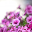 Petunia Flowers - 