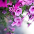Petunia Flowers - Stock Photo