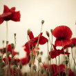 Corn Poppy Flowers — Stock fotografie