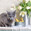 Russian Blue Cat — Stockfoto