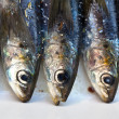 Fresh Sardines — Stock Photo