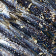Fresh Sardines - Stock Photo