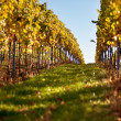 Autumn Vineyard - Stock Photo