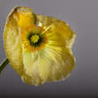 Yellow Poppy — Stock fotografie