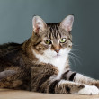 Cat Portrait - Stock Photo