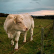 Charolais Cattle in Normandy — Foto Stock