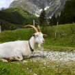 Adult White Goat — Foto Stock