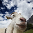 Adult White Goat — Stock Photo