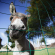 Small grey Donkey — Foto Stock