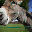 Stock Photo: Small grey Donkey