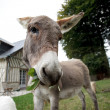 Small grey Donkey - Stock Photo