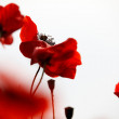 Red Poppy Flowers — Stockfoto