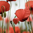 Red Poppy Flowers — Stock fotografie