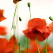 Red Poppy Flowers - 