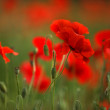 Red Poppy Flowers — Photo