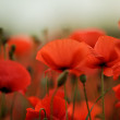 Stock Photo: Red Poppy Flowers