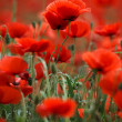 Red Poppy Flowers — Foto Stock