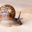 Snails — Stock Photo