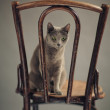 Russian Blue Cat Portrait — Photo