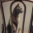 Russian Blue Cat Portrait — ストック写真