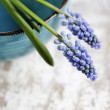 Grape Hyacinth - Stock Photo