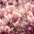 Magnolia Flowers — Stockfoto