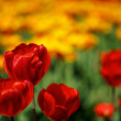 Red and Yellow Tulips - Stock Photo