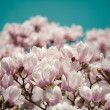 Magnolia Flowers — Stock Photo