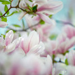 Magnolia Flowers - Stockfoto