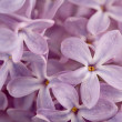 Purple Lilac — Stockfoto