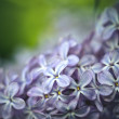 Purple Lilac — Photo