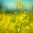Rape Field on a Summer Evening — Stock Photo