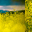 Rapeseed Field on a Summer Evening — Stock Photo