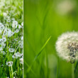 Dandelion Meadow — Stockfoto