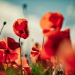 Poppy Meadow — Stock Photo