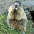 Marmot eating — Stock Photo