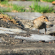 Stock Photo: Sparrow on ground