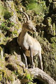 Ibex in the mountain — Stock Photo